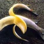 Banana_fish