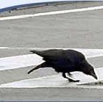 crow traffic
