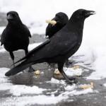 crows park 2