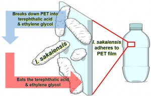 Ideonella-sakaiensis-breaks-down-PET