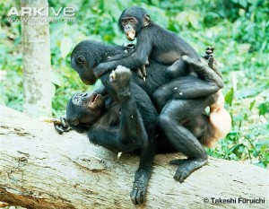 bonobo group sex