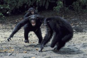 chimp war