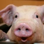 pig eye