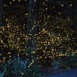 firefly1_mini