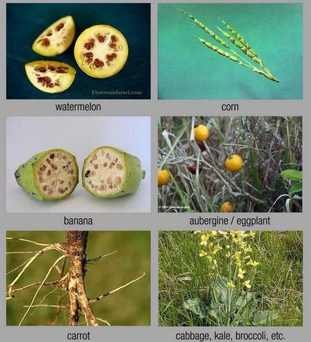 150422 plante modificate genetic