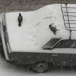 crows snow