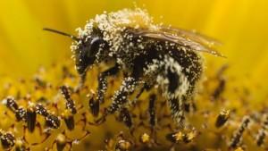 Bee_pollen_640