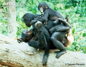 bonobo group sex