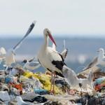 stork-garbage-dump