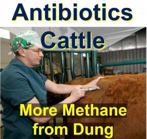 Dosing-antibiotics-to-cattle